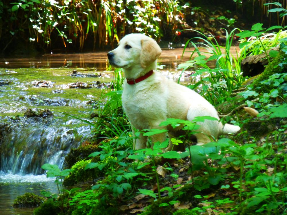 Labrador Sly 3 Monate